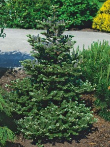 002 | Abies koreana | Co 5